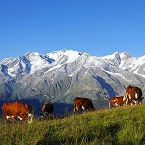 Vaches laitières qui paissent face aux alpages.